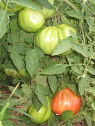 Barbara's tomatoes.