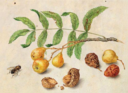 garzoni-pears