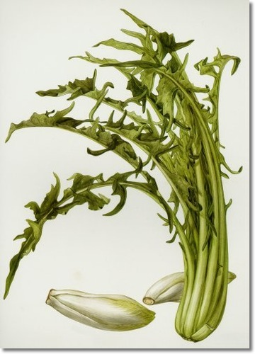 belgin-endive-catalonia-chicory.jpg.png