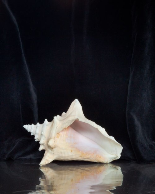 conch_shell