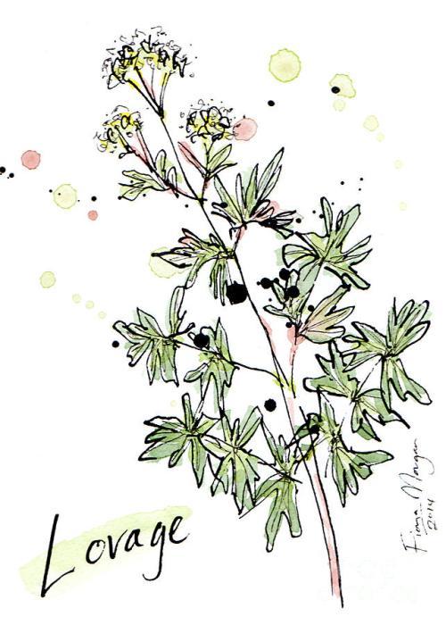 culinary-herbs--lovage-fiona-morgan