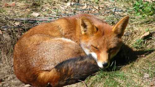 ginger-fox-sleeping-on-the-grass-51251-1920x1080